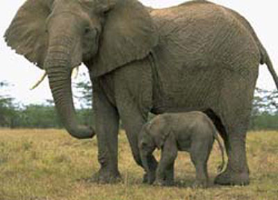 The baby of elephant