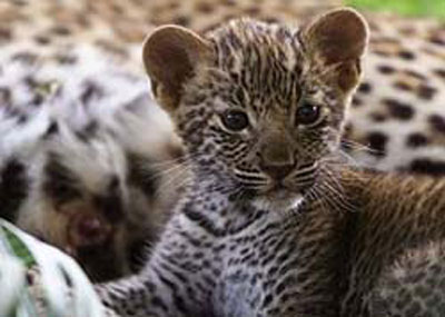 the baby of leopards