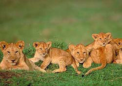 the babies of lion